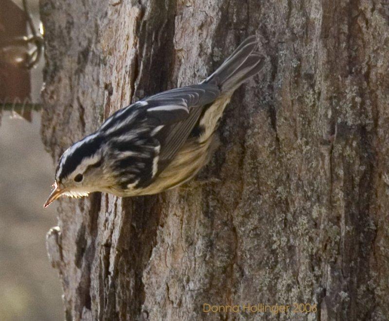 Mniotilta Varia (B & W Warbler)