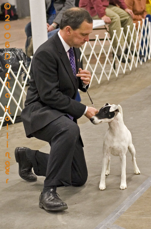 A Fox Terrier in competition