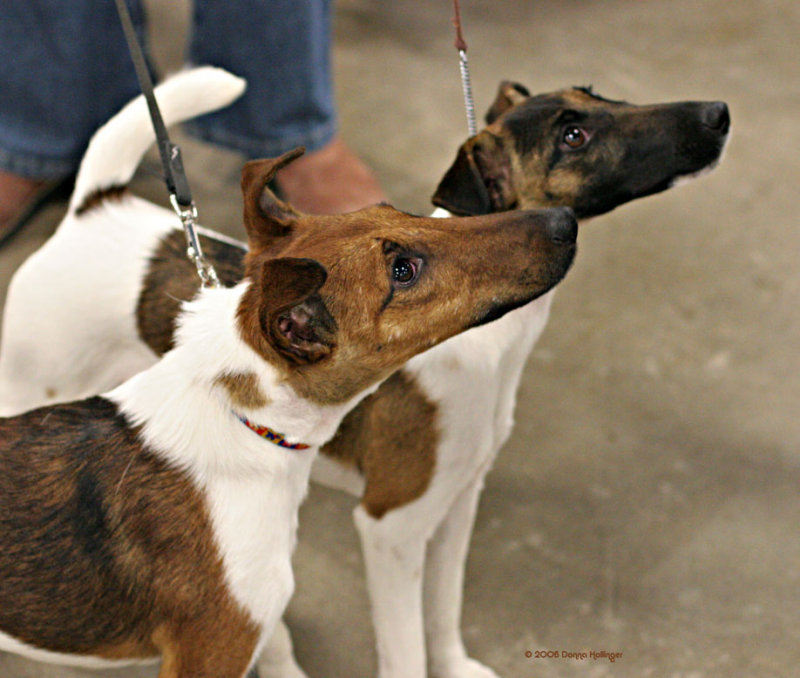 Two Fox Terriers