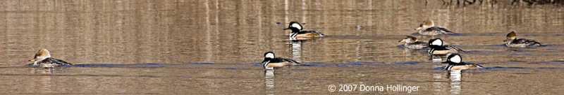 Hooded Mergansers Flotilla Formation