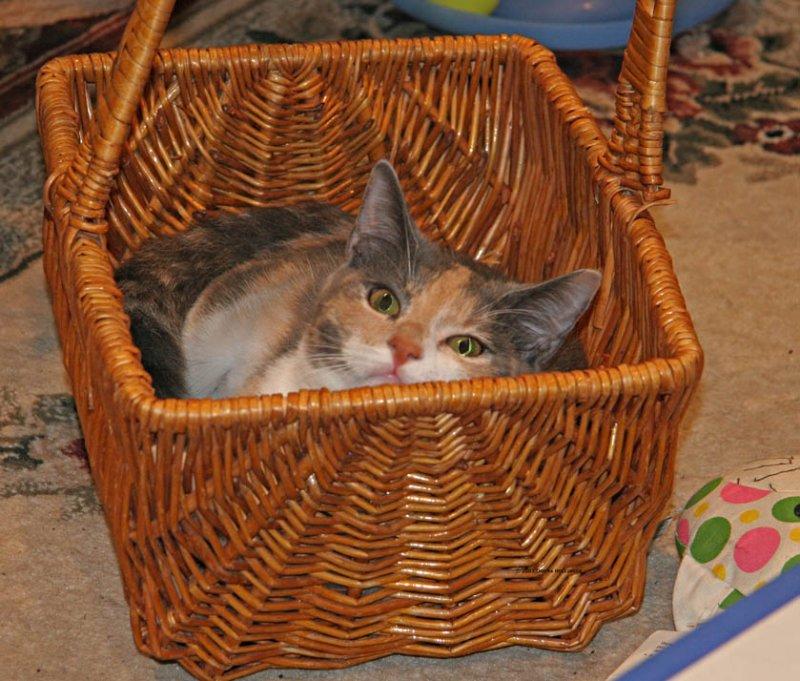 Josie fitting herself into a basket