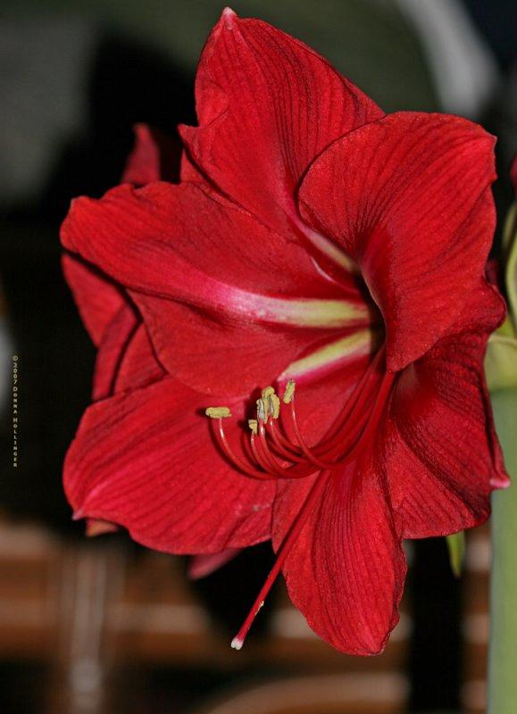 Crimson Amaryllis Today