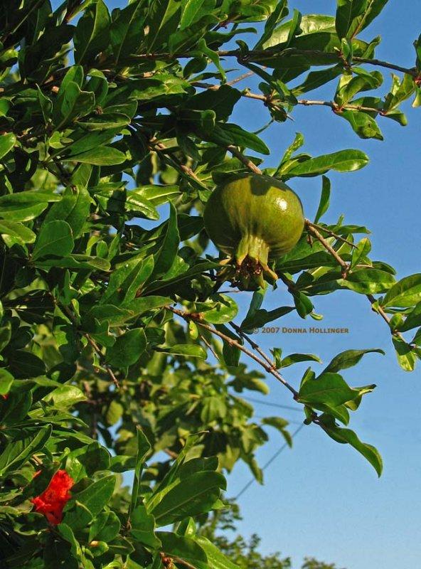 Green Pomagranate