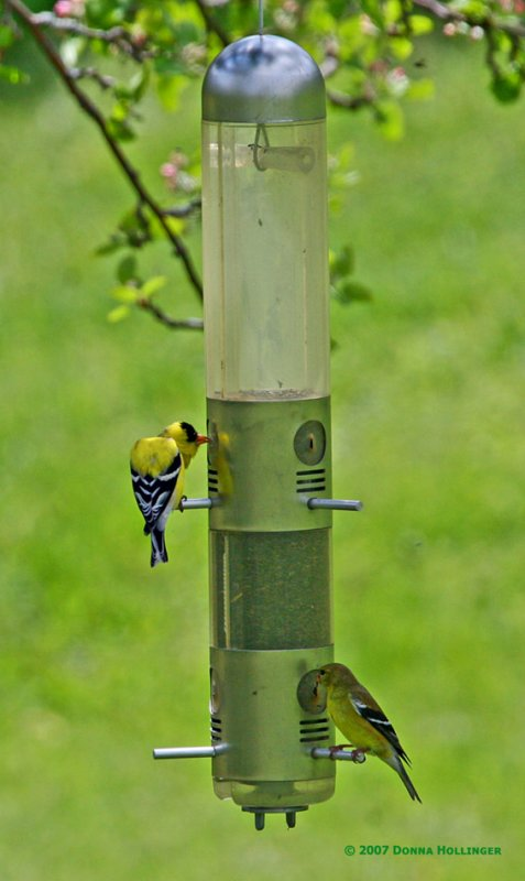 Male and Female Goldfinches Feeding
