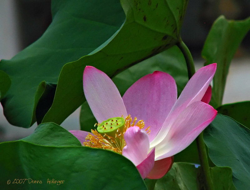 Lotus Flower at the Old Palace