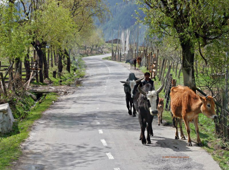 Child driving his cows on a country road