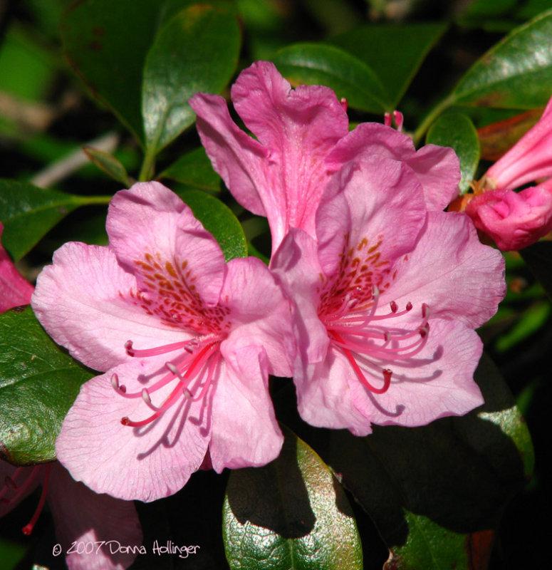 Rose Colored Azalea