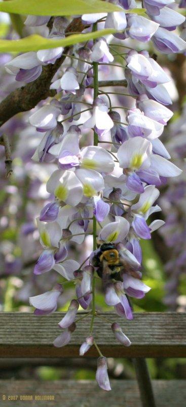 Bee in Wisteria