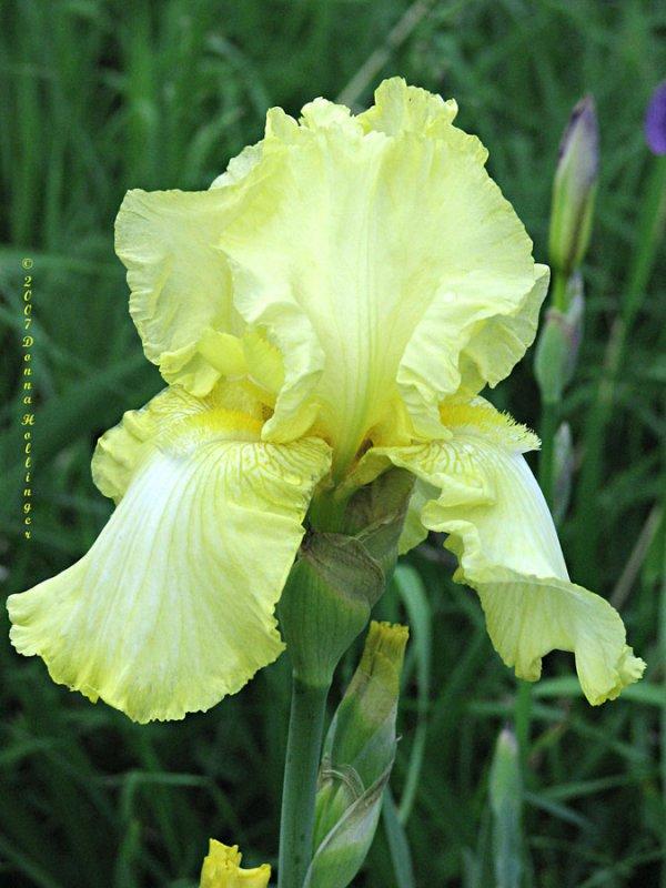 Bearded White and Yellow Iris