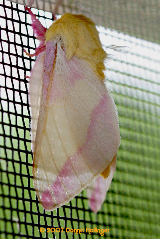 Rosy Maple Moth-Blond Mop Moth
