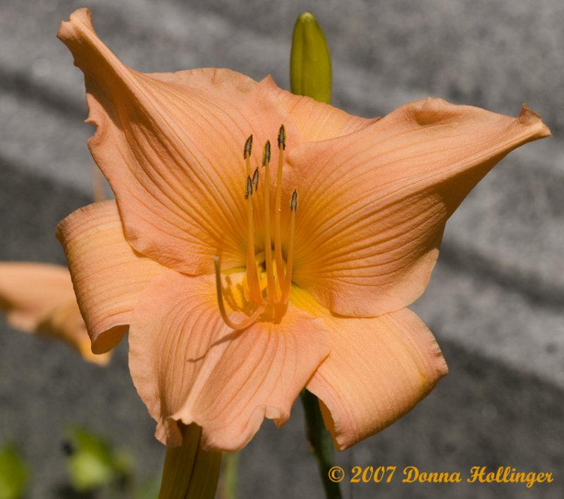 Winged Daylily