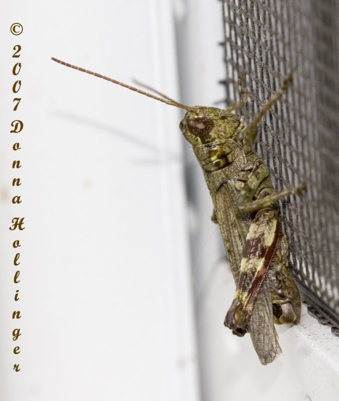 Grasshopper (Brown and Green)