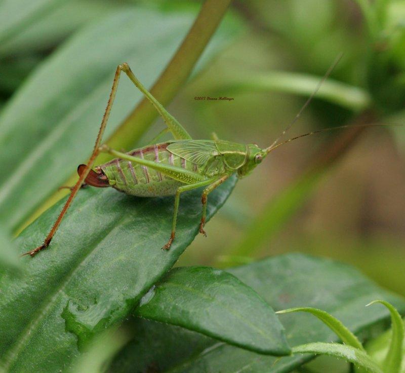 Katydid on Gazania Leaf