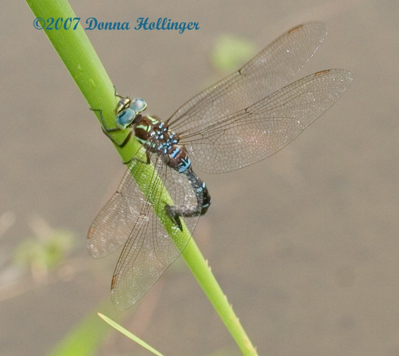 Pattern of  the Shadow Darner
