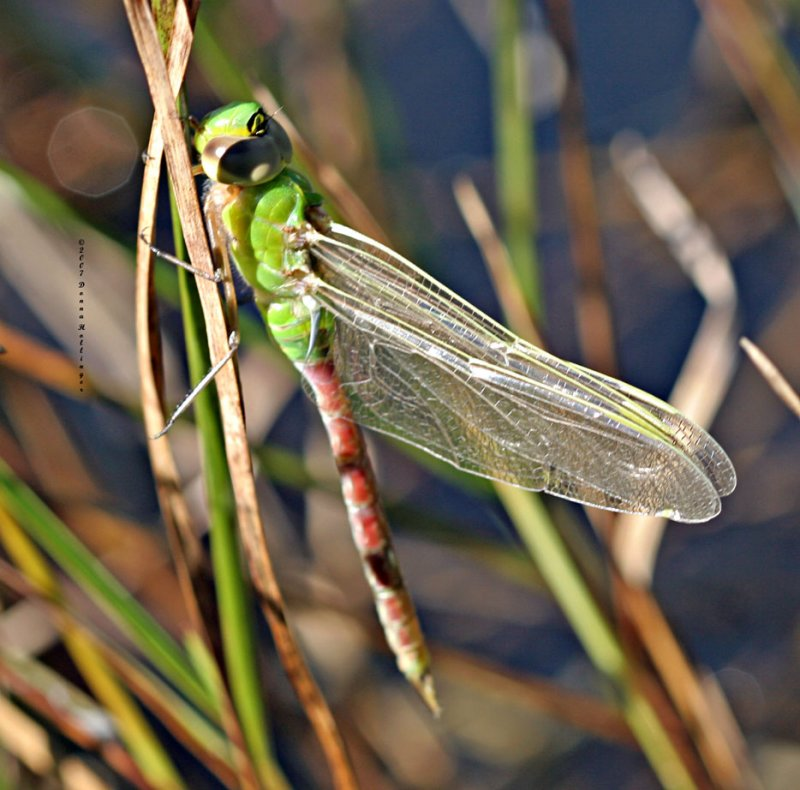 Dragonfly Just Emerging