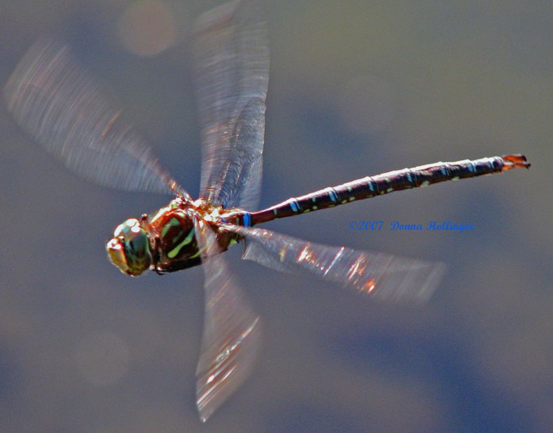 Shadow Darner Patrolling