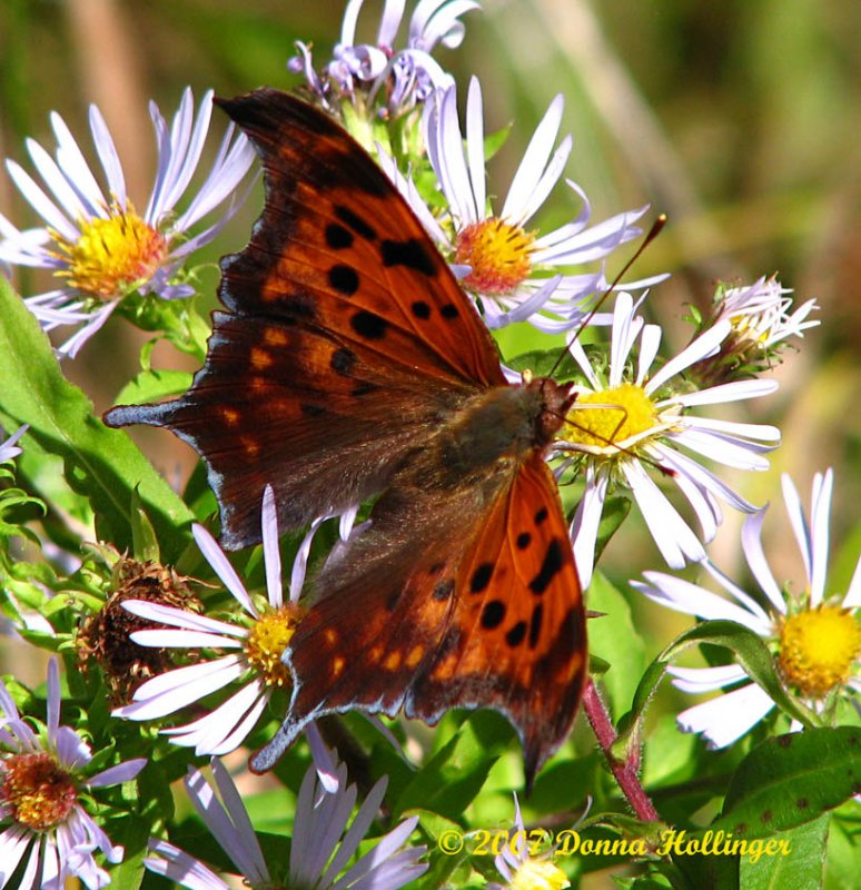 Question Mark Butterfly on Aster