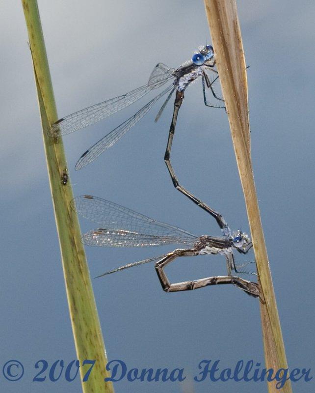 Damsel Flies Mating