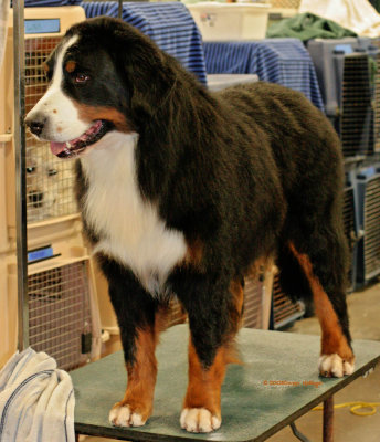 Bernise Mountain Dog