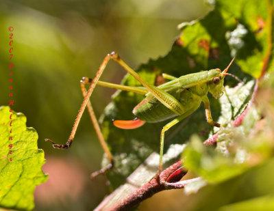 Bush katydid,  Nymph, and female