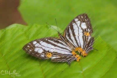 Cyrestis maenalis maenalis (Nymphalidae family)