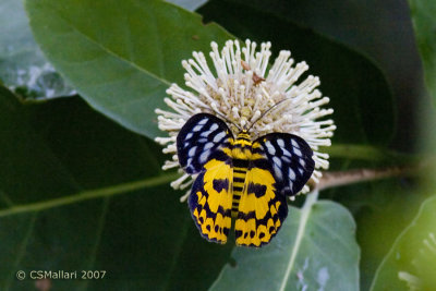 Diaurnal (daytime flying) moth
