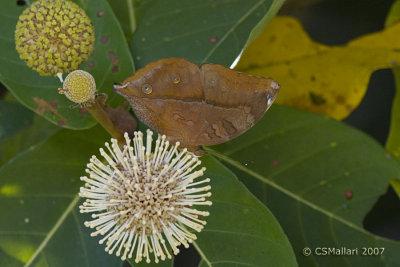 Dolleschallia bisaltide (Leaf Butterfly)