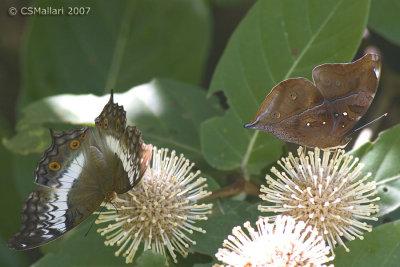 Left: Female Vindula erota (Satyrid) Right: Dolleschallia bisaltide (Leaf Butterfly)