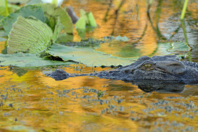 Australia Kakadu Crocodile Salt Water