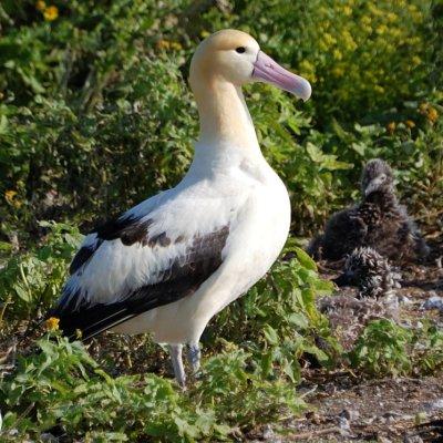 Short tailed Albatross.jpg