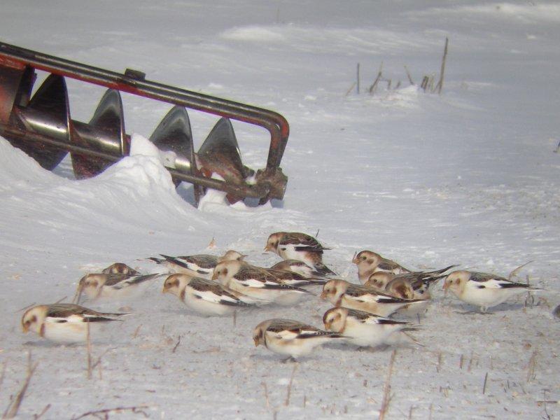 Plectrophanes des neiges, La Pocatière