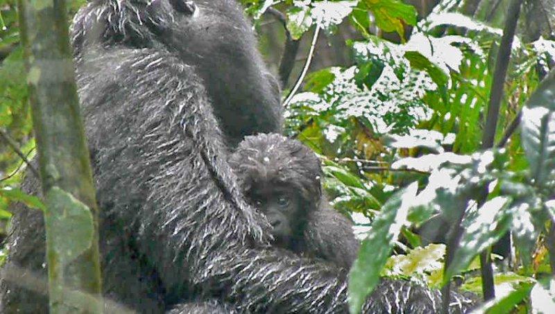 Kabukojo - Adult female with 1 month old baby (Rushegura Group)