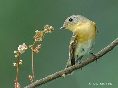 Flycatcher, Mugimaki (female)
