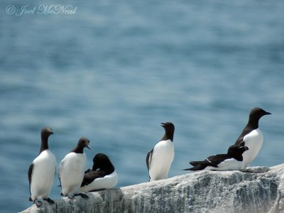 Common Murres (and Razorbills)