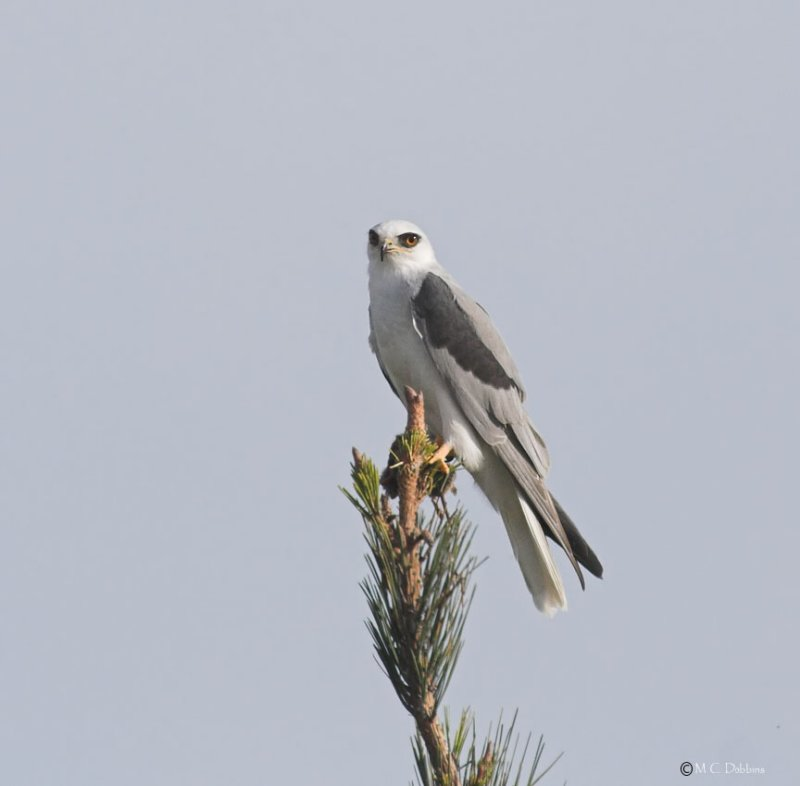 White Tail Kite with Mouse