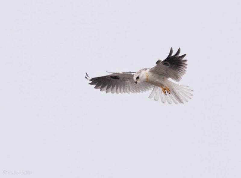 Juvenile White Tail Kite