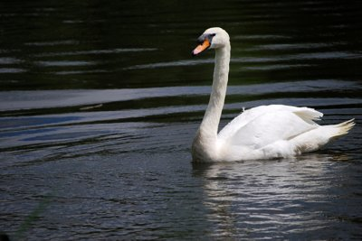 0706CA09E - White Swan on Rideau River, Ottawa, CANADA