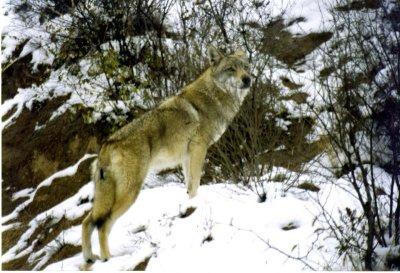 0111CN0117929E - Tibetan wolf, Badalin, CHINA