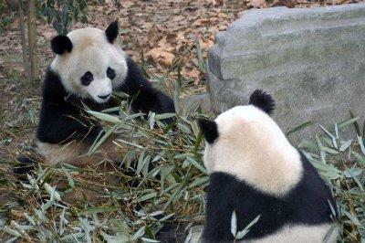 0301CN187E+  Panda bears eating bamboo leaves, Chengdu, CHINA