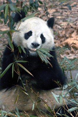 0301CN188E+  Panda bear eating bamboo leaves, CHINA