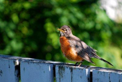 0706CA0519AE - Robin at moms place, Sturgeon Falls, CANADA