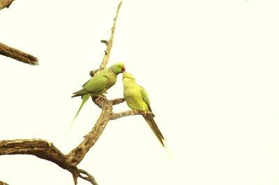 0401IN7277E+- Kissing love Birds, INDIA