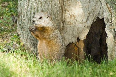 0708CA177AE - Lunchtime for groundhog, Ottawa, CANADA