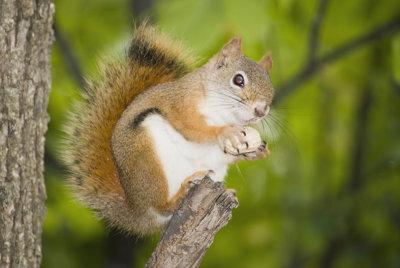 0709CA524E - Red squirrel enjoying my peanut