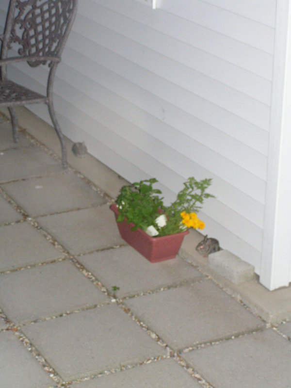 There were baby bunnies on our patio tonight.jpg