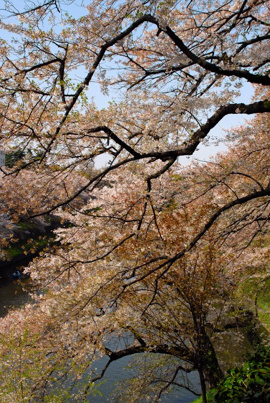 Sakura at its peak