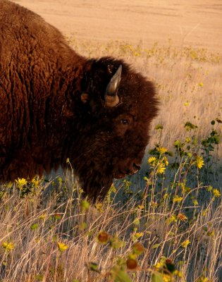 Bison and wildflowers, Antelope Island State Park, Utah, 2006