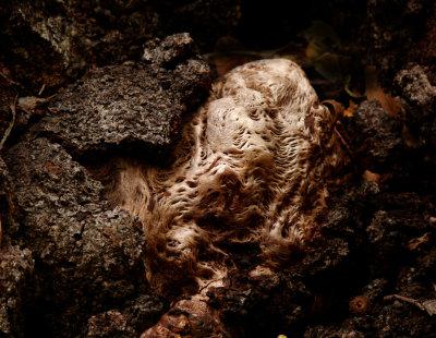 Aged burl, Oak Creek Canyon, Sedona, Arizona, 2006
