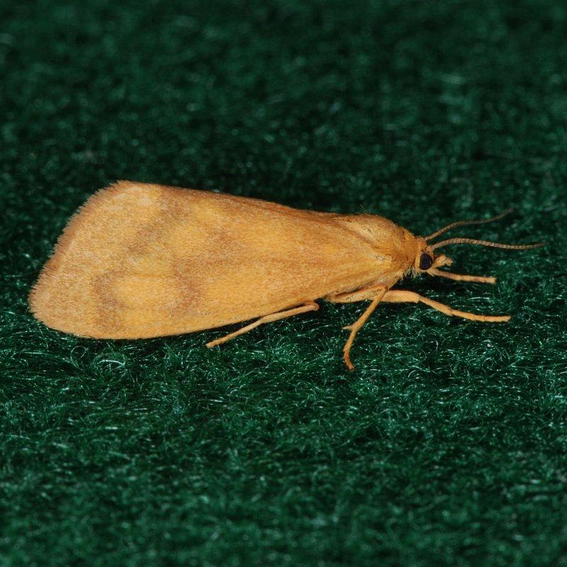 8121 Orange Holomelina - Holomelina aurantiaca