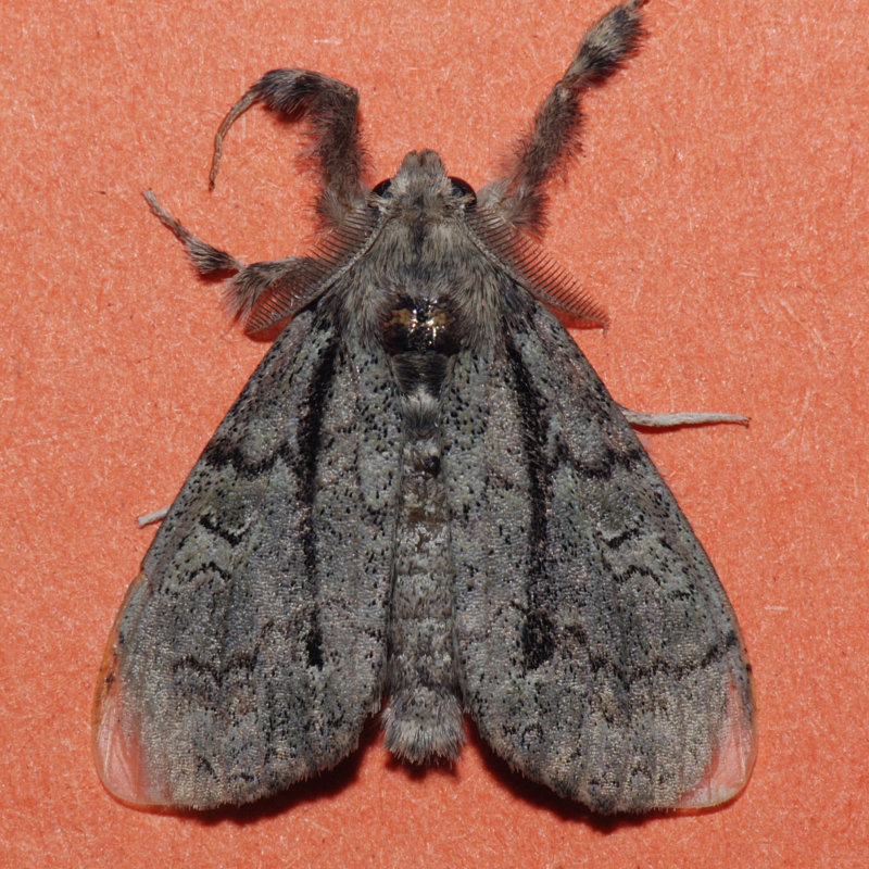 8292  Tephra Tussock Moth - Dasychira tephra